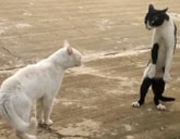 Cat stands like a Cobra