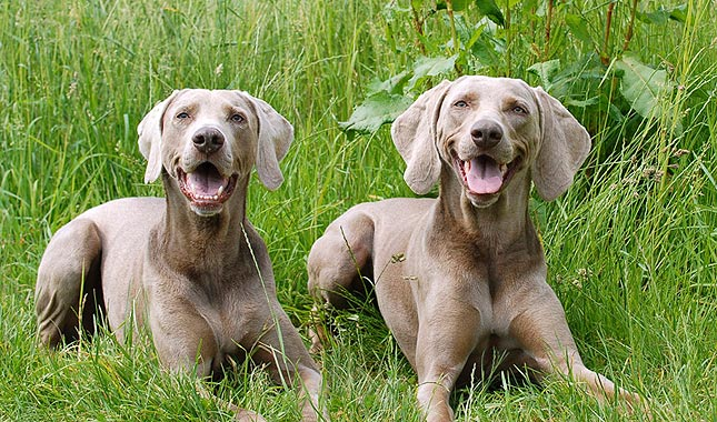 Grey Coloured Dog Breeds