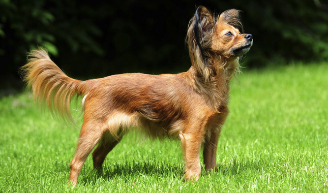 Toy Breed Dogs : Russian toy breed information
