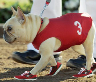 Mr. Quiggly, the French Bulldog featured in a Skechers Super Bowl ad