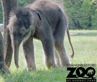 A male Asian elephant made his debut at the Rosamond Gifford Zoo in New York last week.