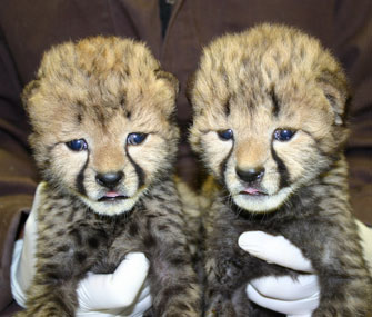 Two Cheetah cubs arrive at the National Zoo.