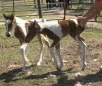 Rare twin horses were born on Easter in Georgia.