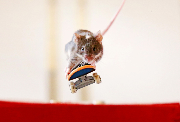 Mice ride skateboards