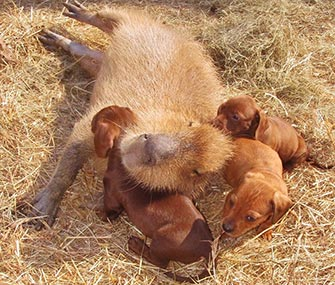 Cheesecake the capybara plays mom to Doxie puppies.