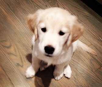 Jimmy Fallon's new Golden Retriever puppy