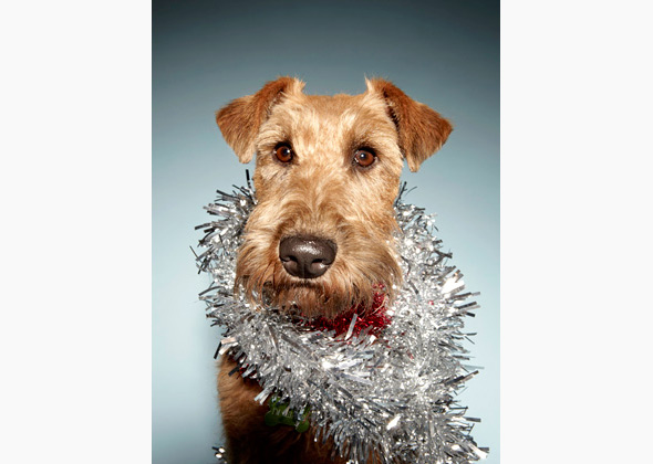 Irish Terrier ready for Christmas