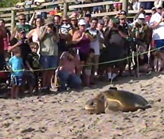 One of the sea turtles heads for the water in Florida.