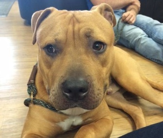 Cheeser, a Pit Bull mix puppy, was returned to a Chicago shelter after being stolen last week. Now he has a happy new home.