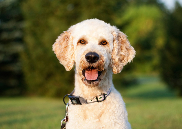 Goldedoodle dog breed