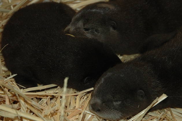 Three river otter pups at the Oakland Zoo