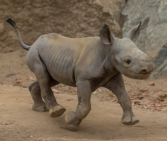 This critically endangered black rhino calf was born at the San Diego Zoo Safari Park on July 12.