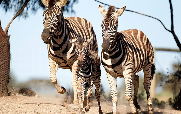A zebra filly runs with her parents at the Monarto Zoo in Australia.
