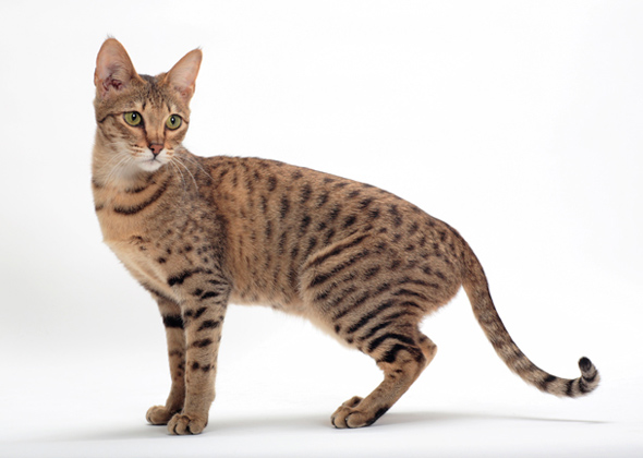 Cat breeds, Egyptian mau and The egyptian on Pinterest