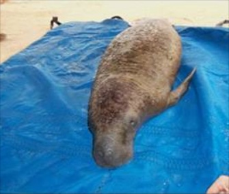 A team of biologists and wildlife officers rescued a distressed manatee calf from Key Largo.