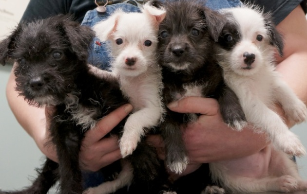 Xavier puppies