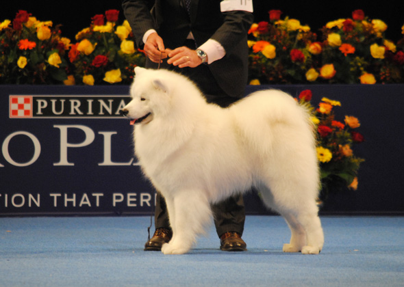 National Dog Show Samoyed