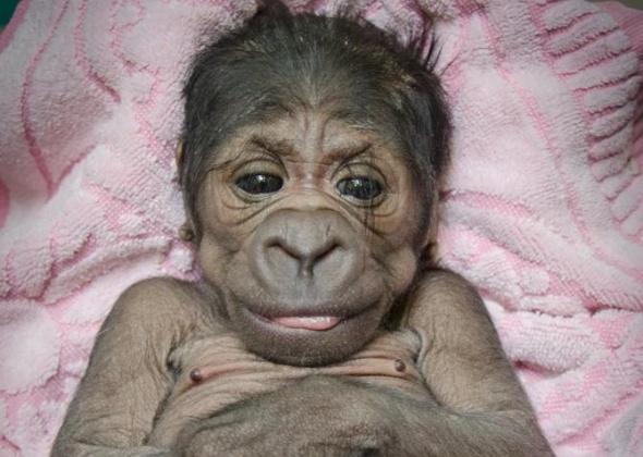 OKC zoo gorilla baby