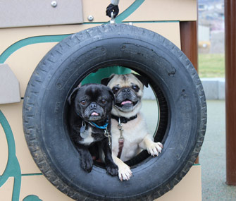 Mikkel Becker's Pugs on a playground