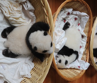 One of 10 panda cubs born at a China research center leans over its basket to greet the one next to it.