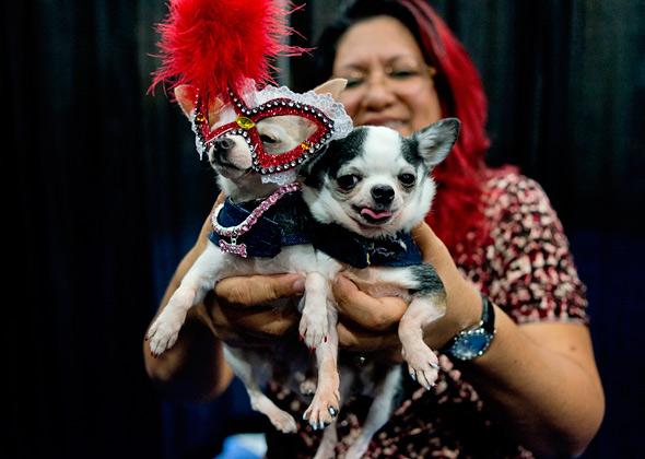 Meet the Breeds Chihuahuas