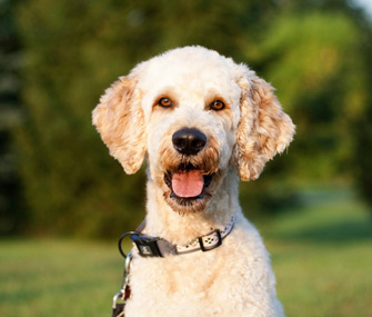 Goldendoodle dog breed