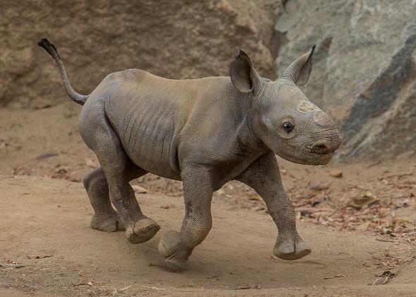 endangered rhino San Diego Zoo
