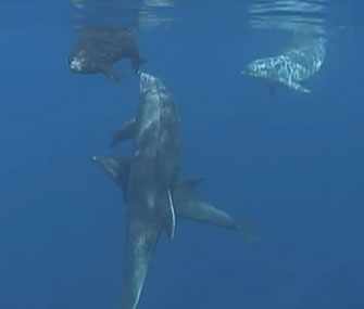 Helpful dolphins nudge a seal pup back out to sea.