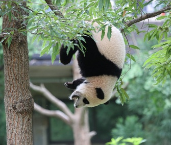 Party animal! Bao Bao hangs from a tree in her enclosure during her 1st birthday celebration at the National Zoo Saturday.
