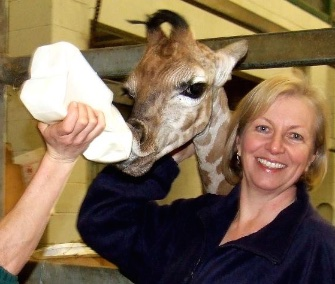 Keepers at the Paignton Zoo in the U.K. are bottle feeding an endangered Rothschild's giraffe calf.