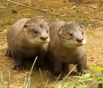 Two of Propect Park Zoo's three otter pups play during their debut.
