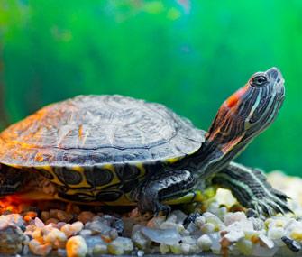Turtle in a tank