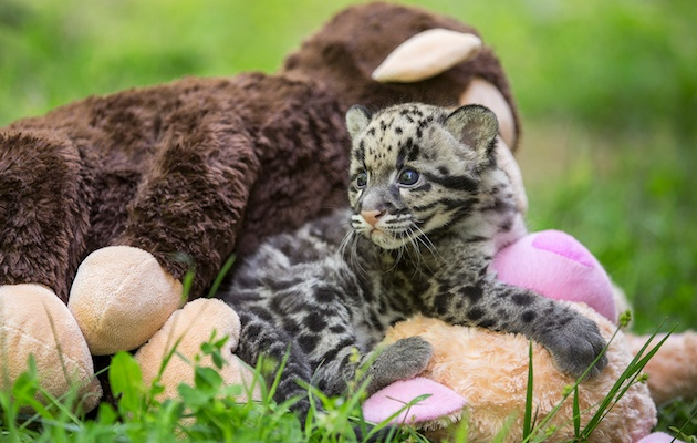One of the clouded leopard cubs at the Nashville Zoo plays with stuffed animals.