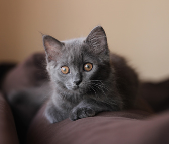Gray kitten on a couch