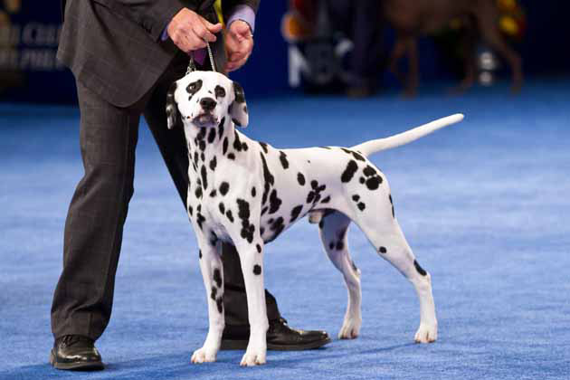 National Dog Show Sporting Group Winner