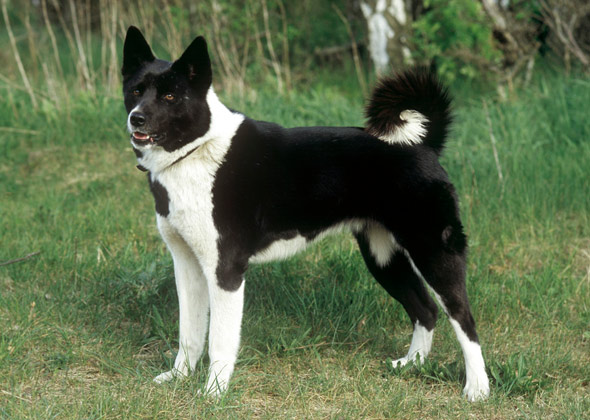 Russian-European Laika dog breed