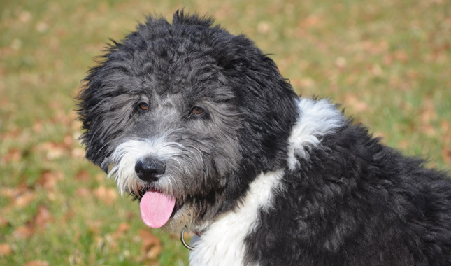 aussiedoodle dog breed information