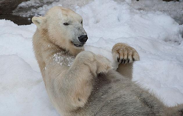 polar bear plays in the snow