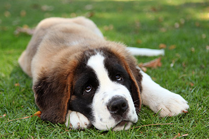 St. Bernard lying in grass with head down