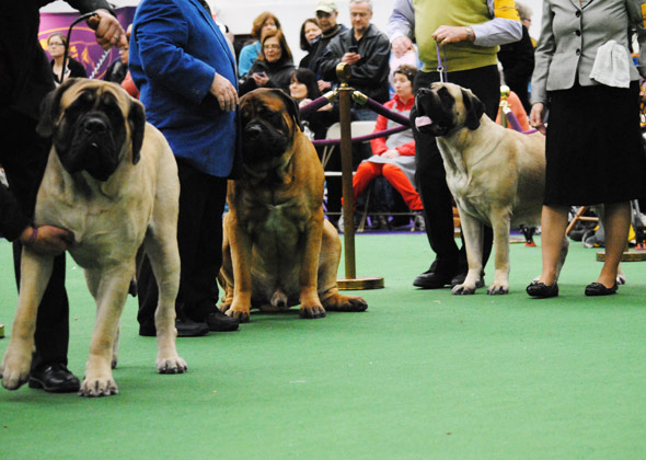 Mastiffs in the ring