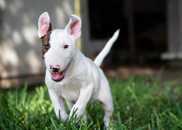 English Bull Terrier pouncing owner.