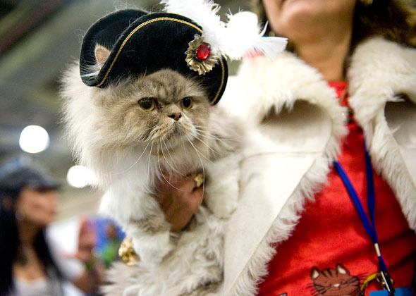 Pirate Cat at Meet the Breeds Cat Fashion Show