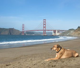 Dog sits with Golden Gate Bridge in the background in San Francisco