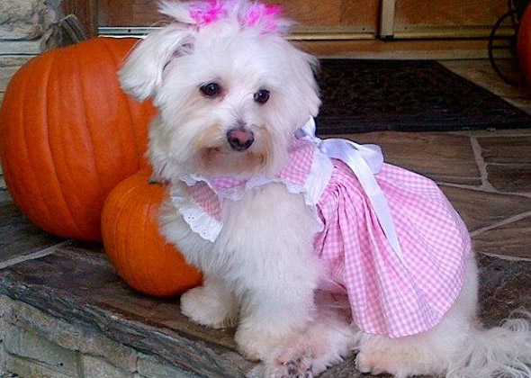 Dog in dress with pumpkins
