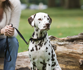 Dalmatian on a leash