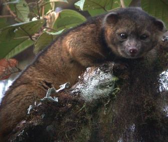 The olinguito, a carnivore, lives in Ecuador and Colombia.