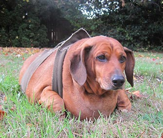 Obie, a 70-pound Dachshund, is at the center of a custody battle.
