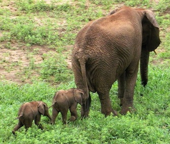 Rare African elephant twins were born recently to mom Curve at the Pongola Game Reserve in South Africa.