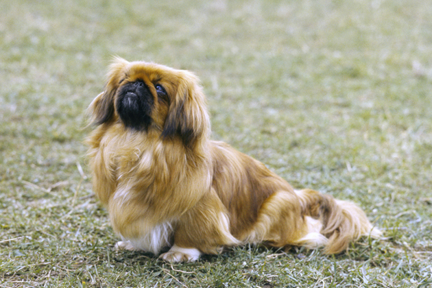 Pekingese — Low-Activity Cuddlebug