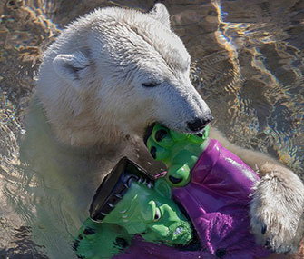 A San Diego Zoo polar bear plays with a Frankenstein toy.